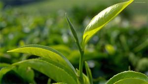 Tea – Camellia sinensis