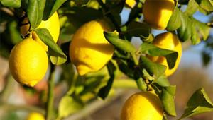 Lemon – Citrus limon