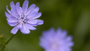 Chicory – Cichorium intybus