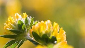 Anthyllis – Anthyllis vulneraria