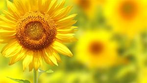 Sunflower – Helianthus annuus