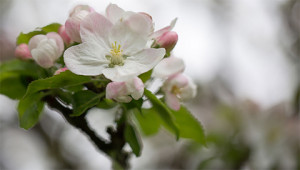 Apple – Malus domestica