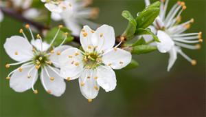Blackthorn – Prunus spinosa