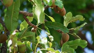 Shea Tree – Butyrospermum parkii