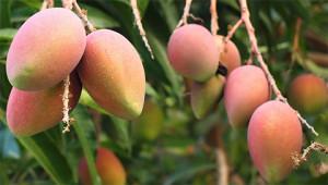 Mango – Mangifera indica