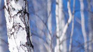 Birch – Betula pendula