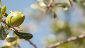 Argan Tree – Argania spinosa