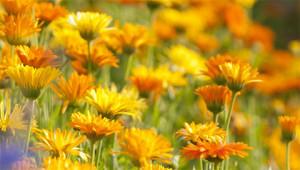 Calendula – Calendula officinalis