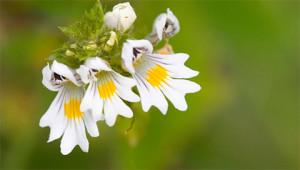 Eyebright – Euphrasia officinalis