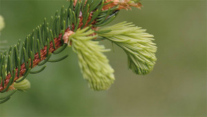 Norway Spruce – Picea abies
