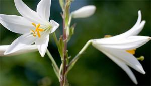 Madonna Lily – Lilium candidum