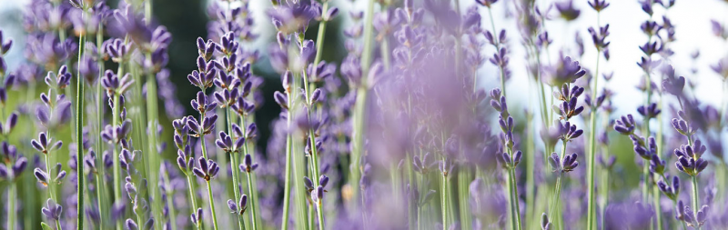 Dr.Hauschka Order and shipping information – Lavender