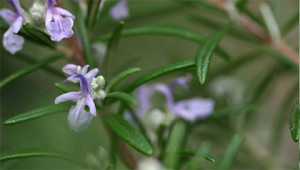 Rosemary – Rosmarinus officinalis