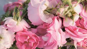 damascena-rose-petals-category