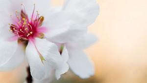 Almond Tree – Prunus dulcis