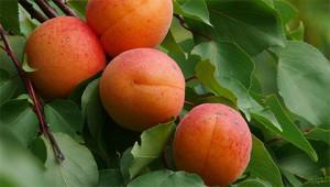 Apricot – Prunus armeniaca