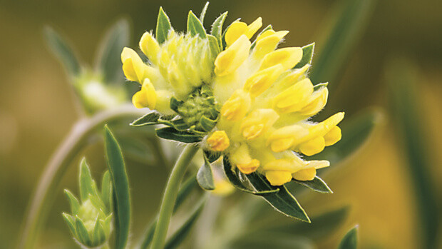 Wundklee-Anthyllis-vulneraria-0062-quer