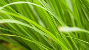 Lemongrass – Cymbopogon citratus