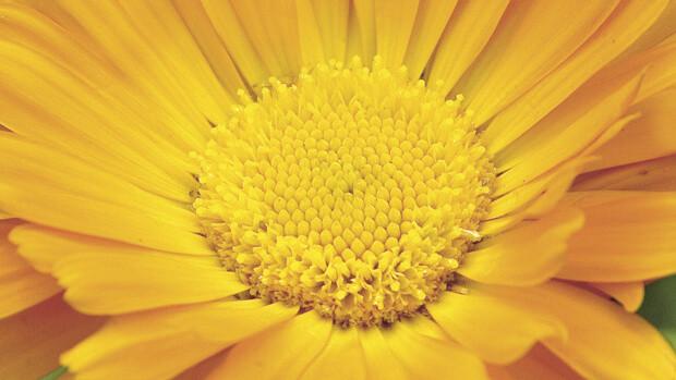 Ringelblume-Calendula-officinalis-2899-quer